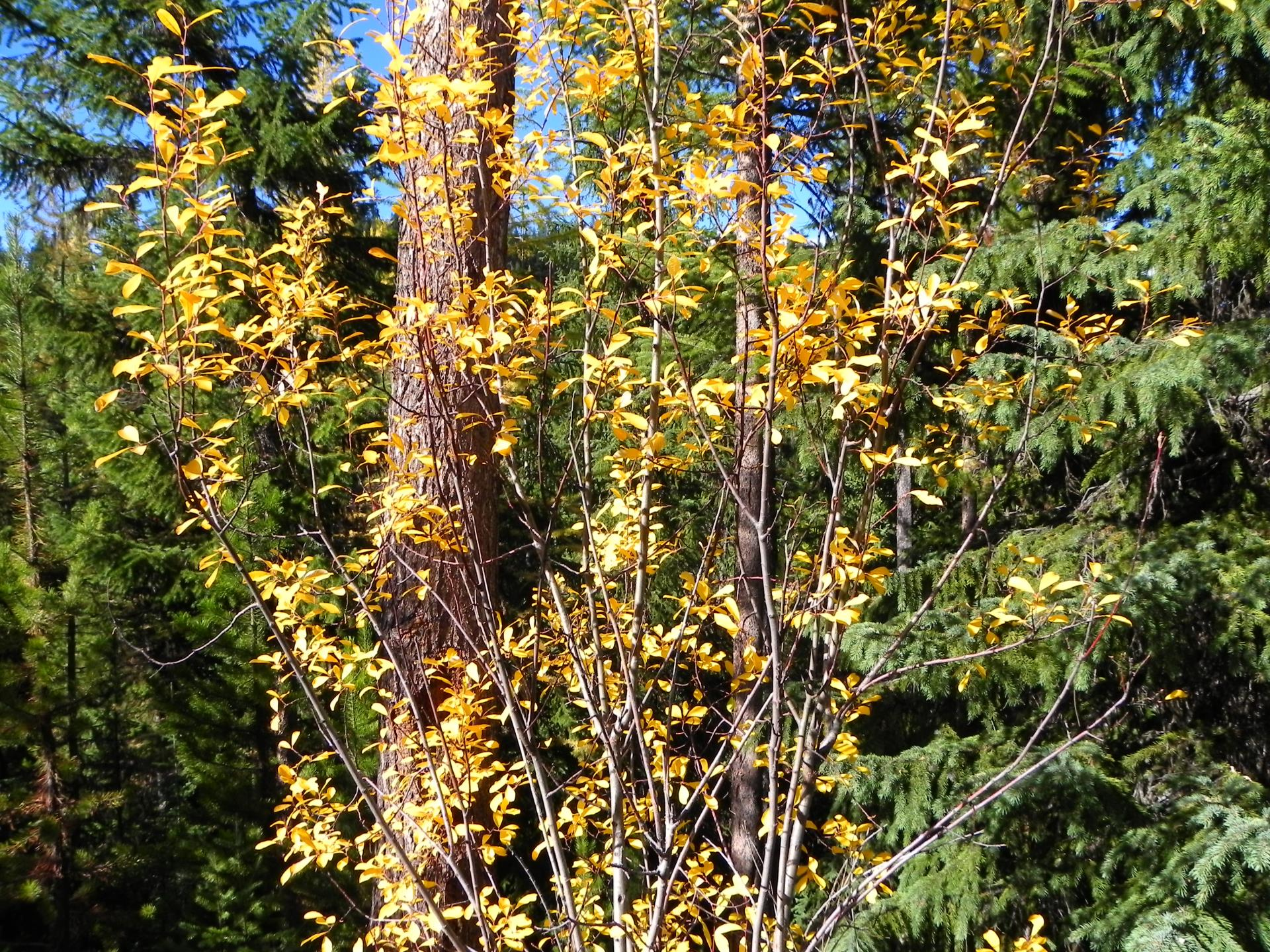 Yellow leaves within trees and green space in Missoula County.